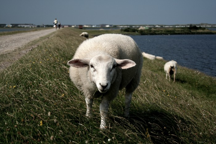Evil Dyke Sheep - Sylt #2