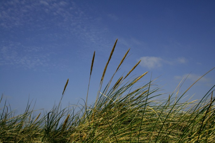 Marram Grass - Sylt #3
